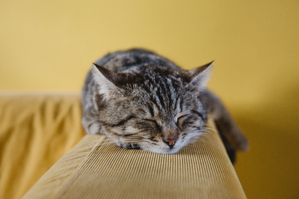 Can CBD help with your cats allergies? What are the benefits?