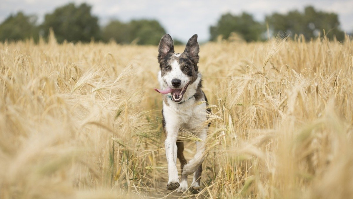 Can CBD oil help with Allergies in dogs?
